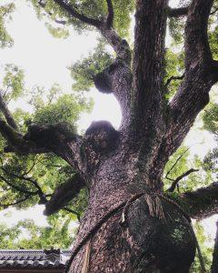 樹齢一千年ご神木